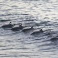 17 мъртви делфина открити до август в Бургаско